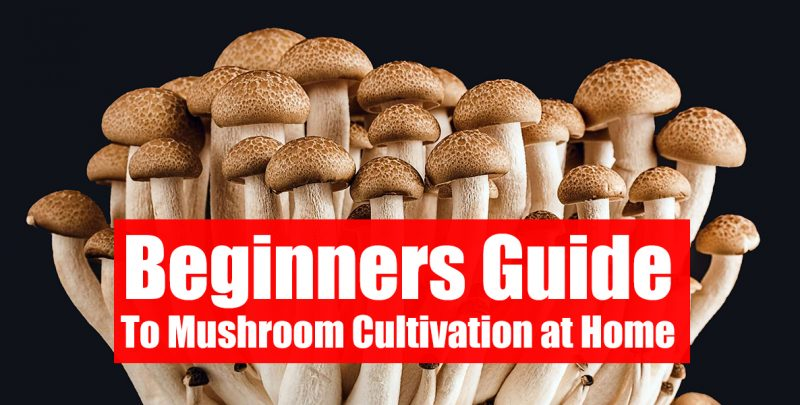 COMPLETE GUIDE TO GROW PSILOCYBIN MUSHROOMS AT HOME